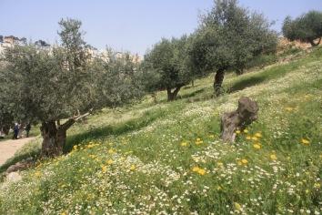 OLIVE TREES NAZARETH VILLAGE